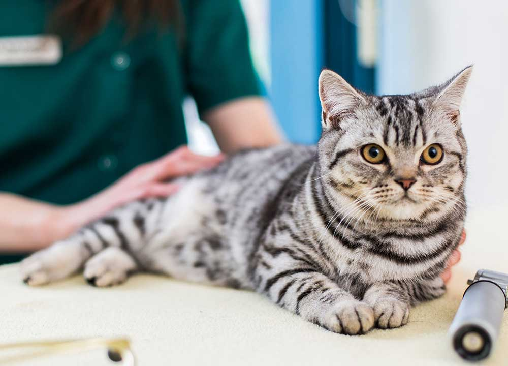 Стерилизация кошки Одинцово