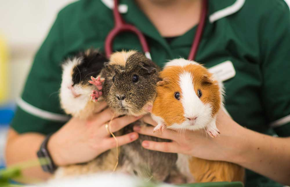 Лечение (кроликов, морская свинка, песчанка, хомяк, хорек, крыса) в микрорайоне Новая Трехгорка городе Одинцово