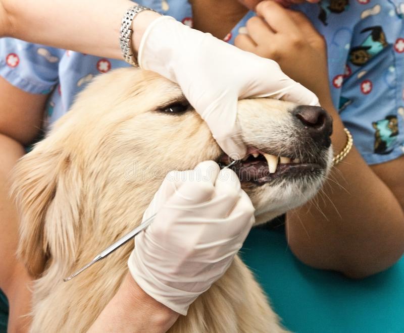 Зубной ветеринар для собаки, кошки микрорайоне Новая Трехгорка в городе Одинцово Московская область